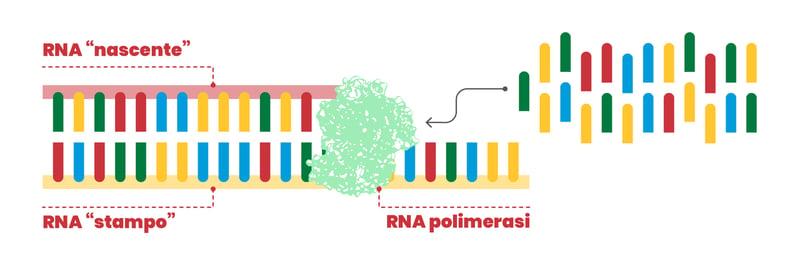RNA_polimerasi_fotocopiatrice_distratta_SARS-CoV-2_UniSR_4